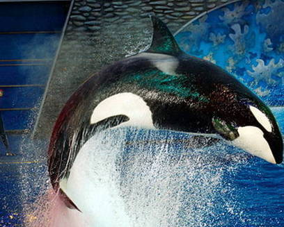 'Blackfish': Are SeaWorld orcas killers in captivity or willing show performers?   Ocean News   Scoop.it