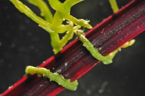 Parasitic Plant Strangleweed Injects Host With Over 9,000 RNA Transcripts | Amazing Science | Scoop.it