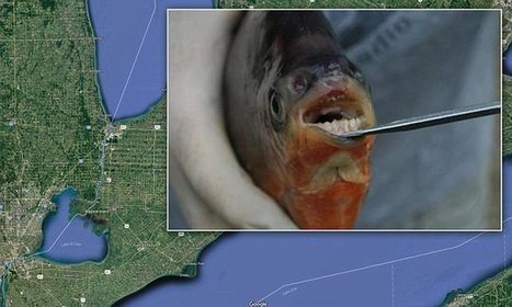 Fish with human-like teeth found in two Michigan lakes | Food for Pets | Scoop.it
