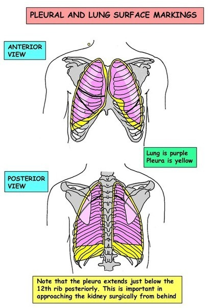 Instant Anatomy - Thorax - Surface - Lungs | Ca...