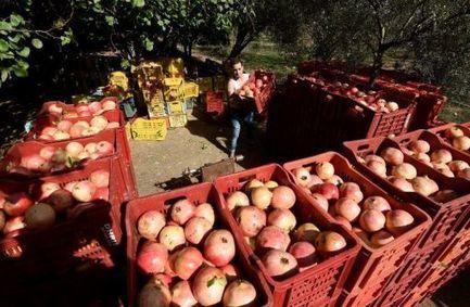 Tunisie: la grenade, fruit d'avenir à l'exportation