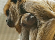 National Zoo's Baby Howler Monkey Cuddles With His Mom (VIDEO) - Huffington Post | Filmbelize | Scoop.it