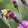 Bees, Honeybees & Other Pollinators