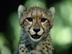 Lions, tigers, big cats may face extinction in 20 years   Cats Rule the World   Scoop.it