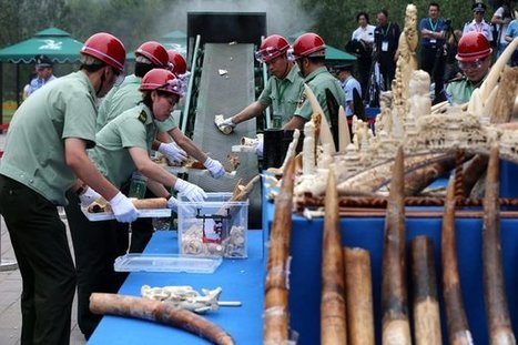 Closing China's Ivory Market: Will It Save Elephants? | Pachyderm Magazine | Scoop.it
