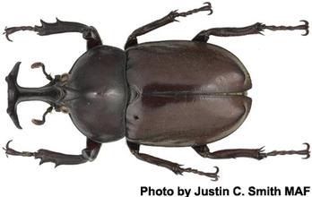 Korean Rhinoceros Beetle Industry Threatened by Virus | Virology News | Scoop.it