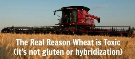 THIS is The Real Reason Wheat is Toxic (And It's NOT the Gluten!) | Health Supreme | Scoop.it