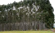 The GM tree plantations bred to satisfy the world's energy needs | BIOSCIENCE NEWS | Scoop.it