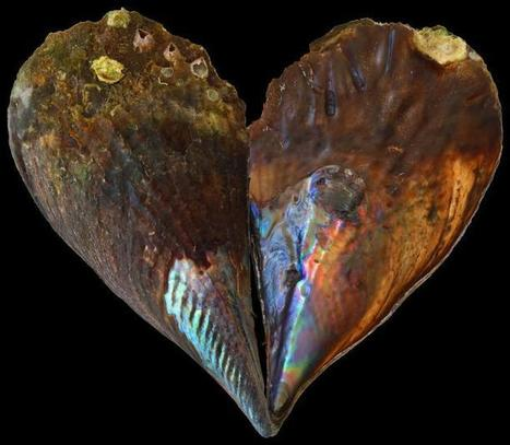 Ocean temperatures faithfully recorded in mother-of-pearl   Gaia Diary   Scoop.it
