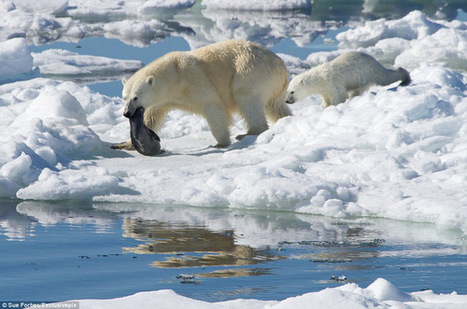Los osos polares evolucionaron para comer comid...