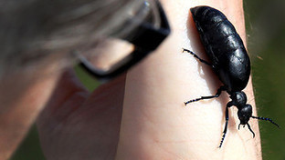 BBC Radio 4 - The Living World, Oil Beetles | Yan's Earth | Scoop.it
