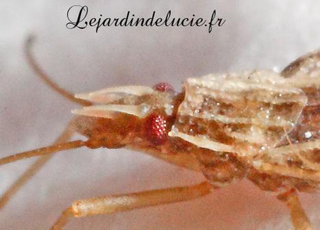 Cantacader quadricornis, une petite punaise à cornes | Variétés entomologiques | Scoop.it