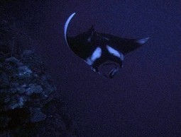 Scuba diving Manta Ray Grand Cayman! | Cayman's Original | Diving Destinations | Scoop.it