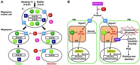 A Killer-Protector System Regulates Both Hybrid Sterility and Segregation Distortion in Rice | Plant genetics | Scoop.it