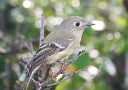 Local birders conduct Christmas Bird Counts - Elizabethton Star | Birds and Birding | Scoop.it