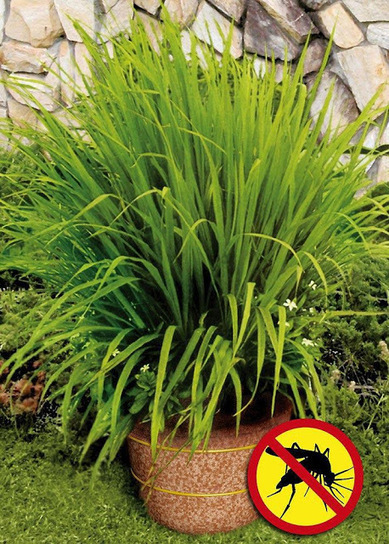101 Gardening: Mosquito grass (a.k.a. Lemon Grass) | Backyard Gardening | Scoop.it