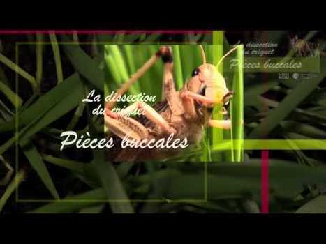 La dissection du criquet - pièces buccales - 2 sur 6 | Variétés entomologiques | Scoop.it