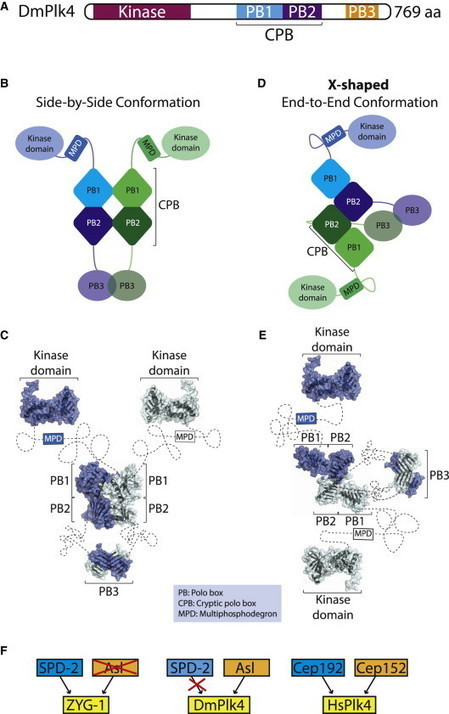 Polo-like Kinase 4 Shapes Up - MS Levine and Holland AJ | CENTROSOME | Scoop.it