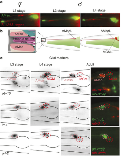 Glia-derived neurons are required for sex-specific learning in C. elegans : Nature : Nature Publishing Group | Darwinian Ascension | Scoop.it