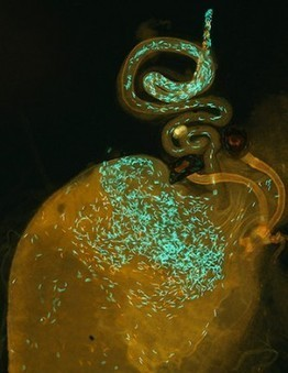 Biologists Confirm Role of Sperm Competition in Formation of New Species | Amazing Science | Scoop.it