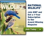 Wildlife in a Warming World - National Wildlife Federation | Sustain Our Earth | Scoop.it