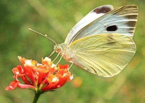 Butterfly Flaps Its Wings, Could Spark Solar Energy Progress | Biomimicry | Scoop.it