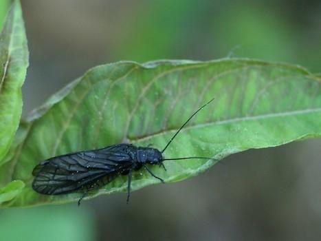 Photos de Sialidés : Sialidae - Sialis sp. - Mégaloptères - Alderfly - Alderflies | Fauna Free Pics - Public Domain - Photos gratuites d'animaux | Scoop.it