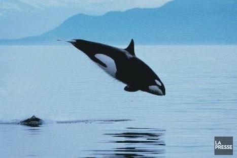 Ottawa veut limiter le bruit causé par les navires pour protéger les épaulards  | Zones humides - Ramsar - Océans | Scoop.it