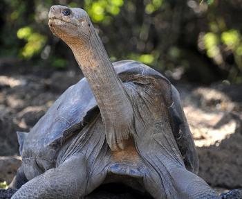 Une espèce de tortue géante s'est éteinte aux Galapagos | The Blog's Revue by OlivierSC | Scoop.it