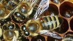 Confirmed: Varroa Mite Helps Virus to Wipe Out Bees | Bees and Honey | Scoop.it