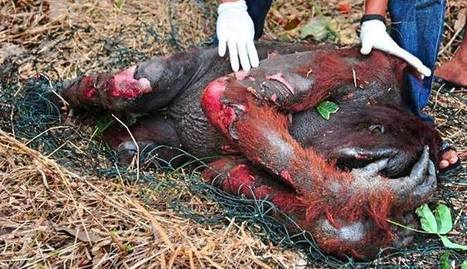 SAY NO TO PALM OIL! – Please Keep This Going Around The World   Theme 3: Resources & the Environment   Scoop.it