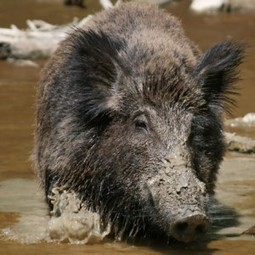 Israeli wild boars descendants of pigs brought by Philistines –... | Archaeology News | Scoop.it