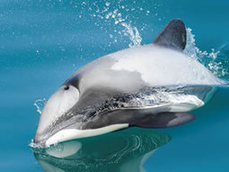 Scientists call for #seismic testing ban to protect the world's #rarest #Dolphins #Maui | Rescue our Ocean's & it's species from Man's Pollution! | Scoop.it