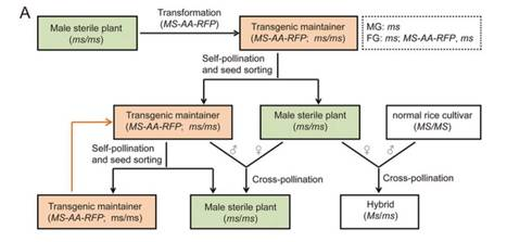 Construction of a male sterility system for hybrid rice breeding and seed production using a nuclear male sterility gene | Plant Biology Teaching Resources (Higher Education) | Scoop.it