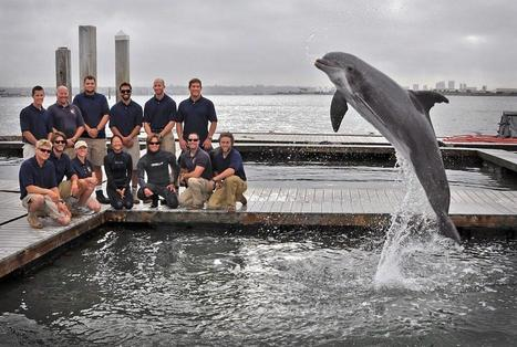 Dolphins persuade Navy trainers to dredge up 130-year-old torpedo   Strange days indeed...   Scoop.it
