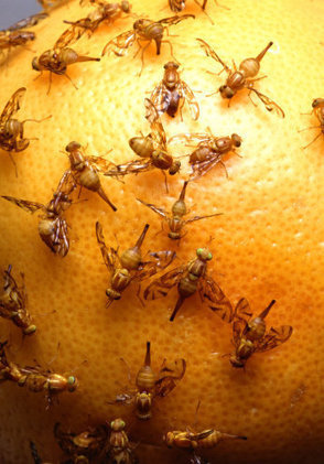 Is Organic Better? Ask a Fruit Fly | REAL World Wellness | Scoop.it