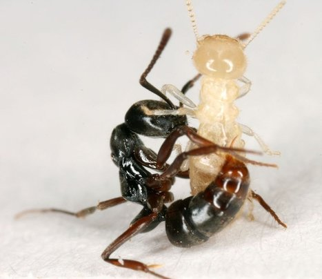 Ant Species Losing Ground to Venomous Kind | All About Ants | Scoop.it