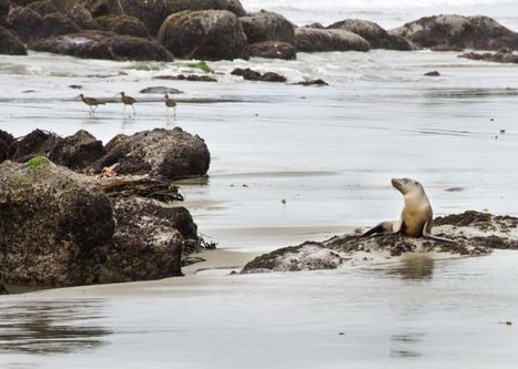 #California #Wildlife Center raising $25K for #sealion shelter ~ #NOAA #CWC  thxu | Rescue our Ocean's & it's species from Man's Pollution! | Scoop.it