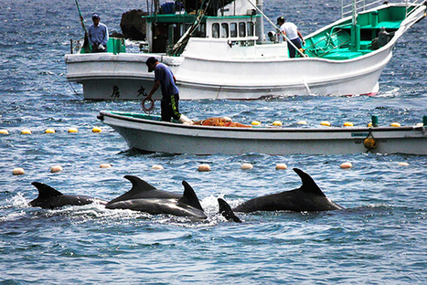 #Dolphin Killing Season Is About to Begin in #Japan; Here's What You Can Do... #Tweet4Taiji #TheCove | Rescue our Ocean's & it's species from Man's Pollution! | Scoop.it