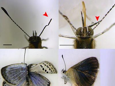 Fukushima mutant butterflies spark fear of effect on humans — RT | promienie | Scoop.it