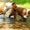 Floxiflux - a little bullterrier