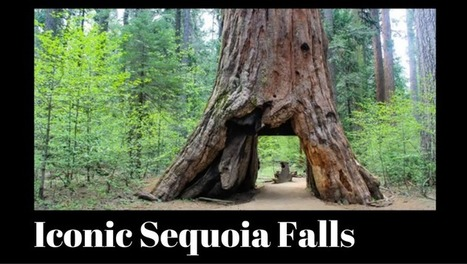 Iconic sequoia tunnel tree is no more  | Real Estate Plus+ Daily News | Scoop.it
