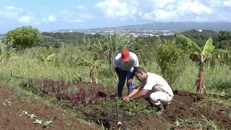 Cultiver sans pesticides grâce aux insectes est désormais possible en Martinique - martinique 1ère | Des 4 coins du monde | Scoop.it