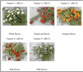 Antioxidant activity and total phenolic content of different varieties of Portulaca grandiflora | Lim | International Journal of Phytopharmacy | plant cell genetics | Scoop.it