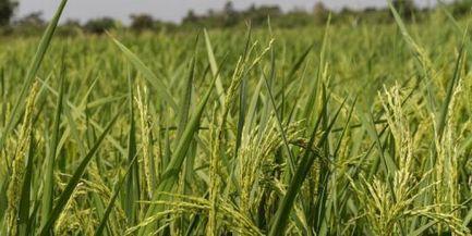 Domestiqué il y a 3000 ans, le riz africain regarde vers l'avenir