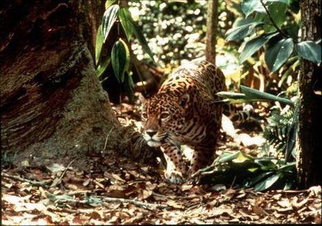 Brasil clonará animales silvestres amenazados   Ciencia, política y Derecho   Scoop.it