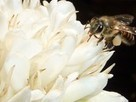 Bees on caffeine remember better and coffee and citrus plants exploit this effect for pollination | Amazing Science | Scoop.it
