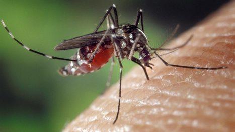 Top mosquito suspect found infected with Zika   Zika Virus News   Scoop.it