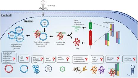 Frontiers | Engineering Plant Immunity: Using CRISPR/Cas9 to Generate Virus Resistance | Plant Biotechnology | Biotech | Scoop.it