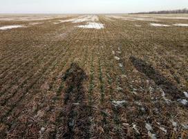 Some Ukraine crops now at risk of winter damage | Grain du Coteau : News ( corn maize ethanol DDG soybean soymeal wheat livestock beef pigs canadian dollar) | Scoop.it